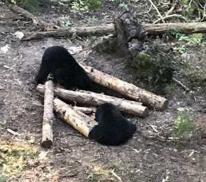 two black bears at a ground bait station