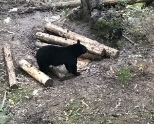 Trail cam picture of a black bear eating at a ground bait station
