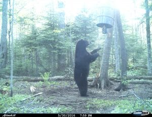 Black bear standing at a barrel bait station