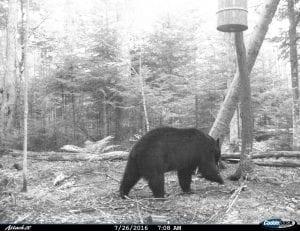 big black bear heading towards the barrel full of bait