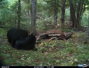 two bears frolicking beside the ground bait station